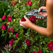 Plant Care, Garden Maintenance, Rose Pruning